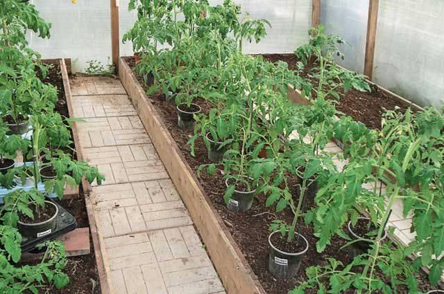 При какой температуре можно высаживать помидоры - скороспел