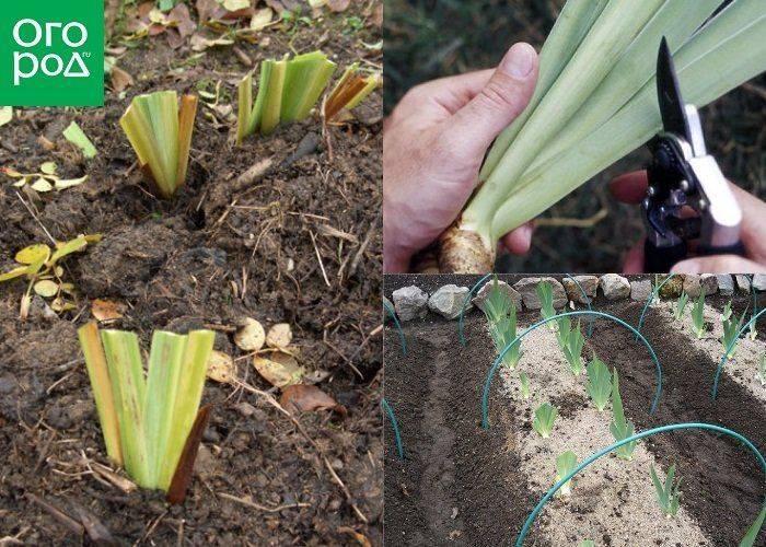 Чем подкормить ирисы осенью и весной, особенности ухода