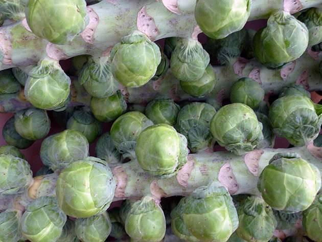 Брюссельская капуста: посев, выращивание и уход за рассадой