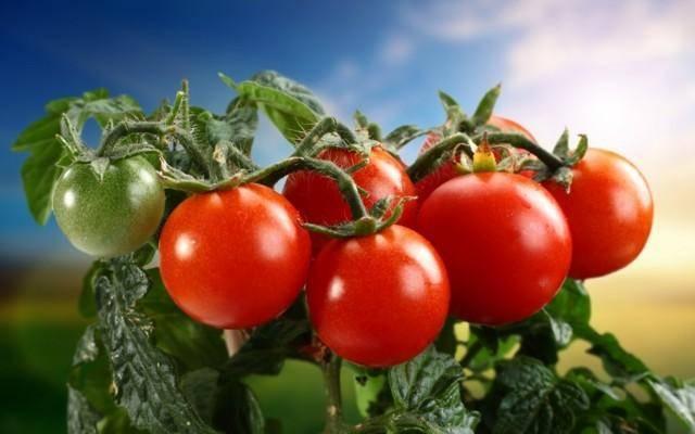 Чем хорош томат благовест: характеристика и описание сорта