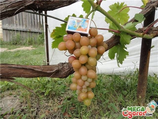 """Виноград """"блестящий"""": описание сорта, фото, отзывы"""
