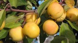 Яблоня «башкирская красавица» — описание сорта