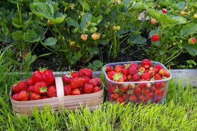 Клубника на всё лето: сорта, плодоносящие в течение лета и осени клубника на всё лето: сорта, плодоносящие в течение лета и осени