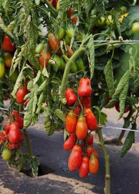 Томат деликатес: характеристика и описание сорта помидоров, отзывы фермеров, сорта-тезки (малиновый, засолочный и т.д.)