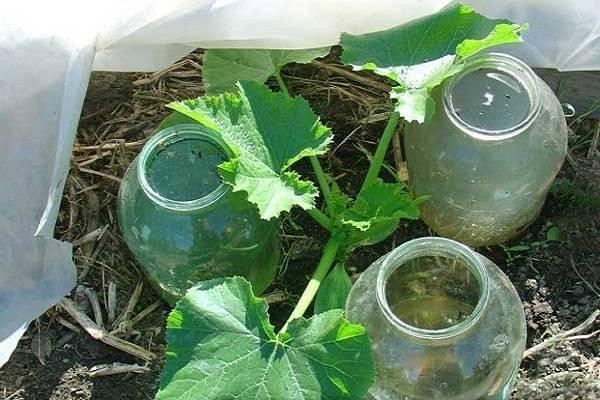 Формирование тыквы в открытом грунте: когда начинать и как правильно прищипывать, схемы