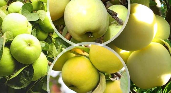 Яблоня антоновка: изучаем детально