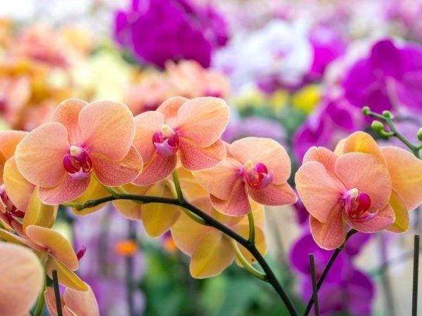 Фаленопсис в природе: происхождение и фото орхидеи, а также где и как она растет в естественных условиях