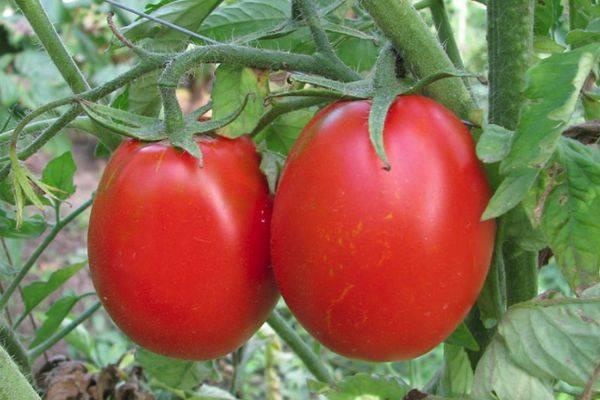 Томат персик: описание сорта, фото, отзывы, характеристика, урожайность