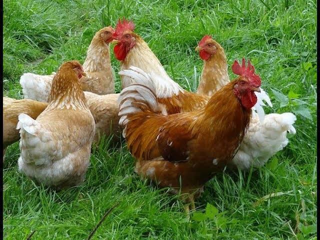 Описание породы мини-мясных кур: белые, красные и палевые, откорм куриц