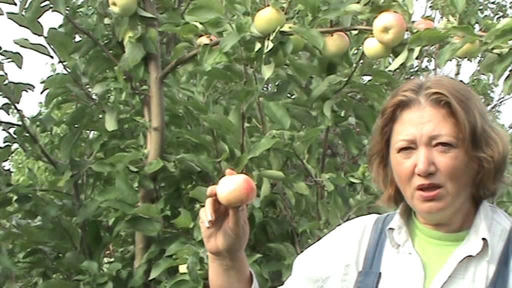 Яблоня грушовка: описание сорта, фото, отзывы садоводов, видео