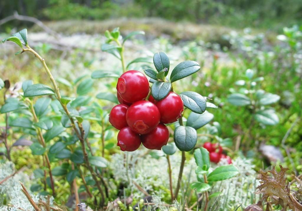 Садовая брусника: посадка и уход, способы размножения, сорта ягод
