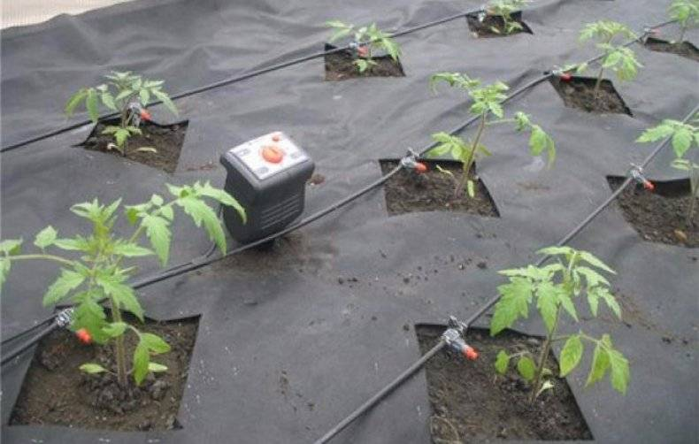Полив помидоров в теплице - когда, как часто и чем поливать