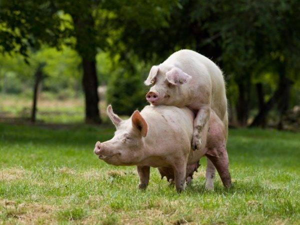 Методы разведения свиней в свиноводстве   аграрный сектор