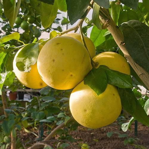 Помело — цитрусовый праотец грейпфрута
