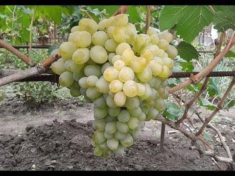 Виноград подарок винокурову