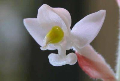 Орхидея «лудизия»: фото, размножение, уход в домашних условиях