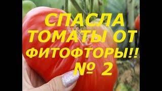 Как бороться с фитофторой на помидорах в теплице?