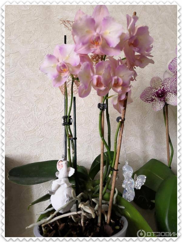Сорта фаленопсисов: лаймлайт, легато, легенда, леди мармелад, фото и описание орхидеи