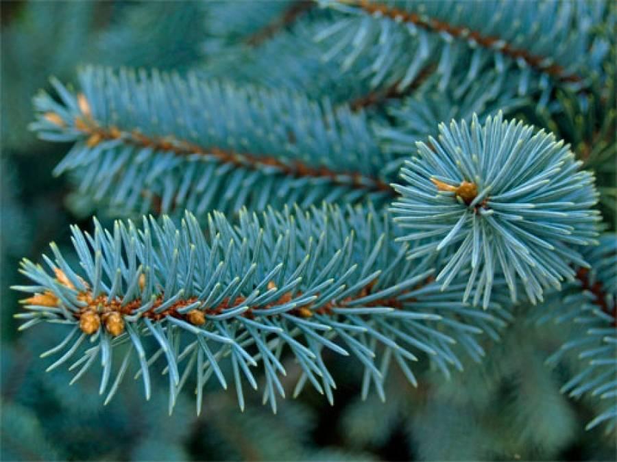 Посадка голубой ели: способы размножения, выбор времени и места посадки