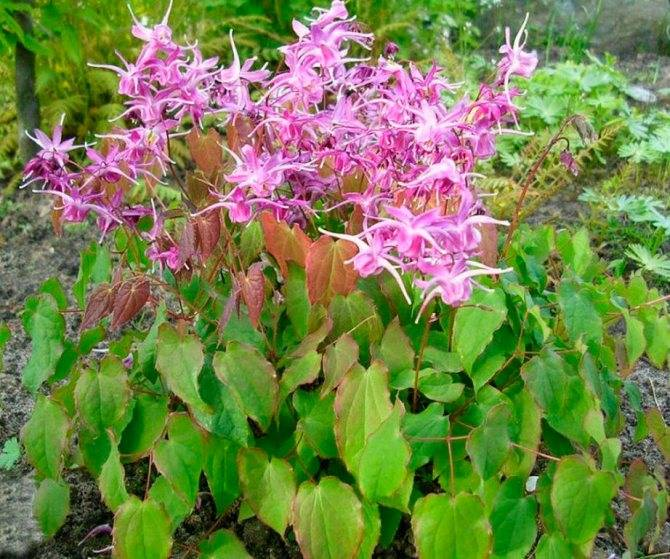 Горянка (цветок) – выращивание, уход, посадка и размножение.   сайт о саде, даче и комнатных растениях.