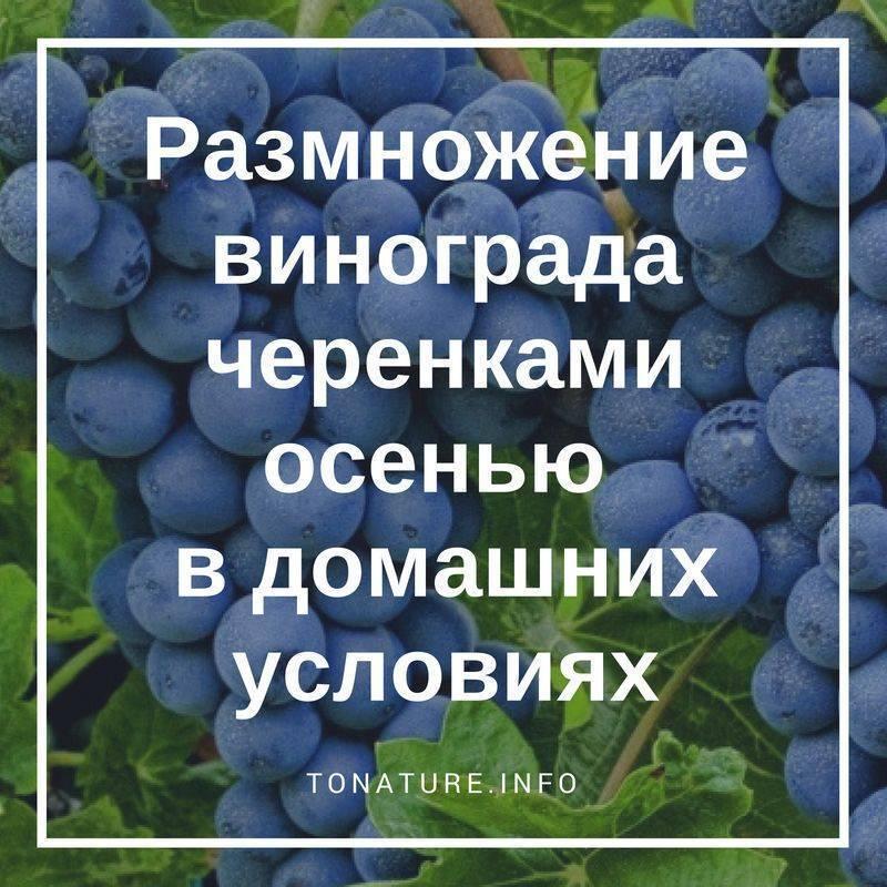 Как размножить виноград - лучшие способы размножения культуры
