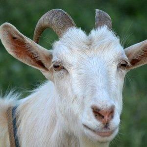 Как назвать козу девочку или козленка
