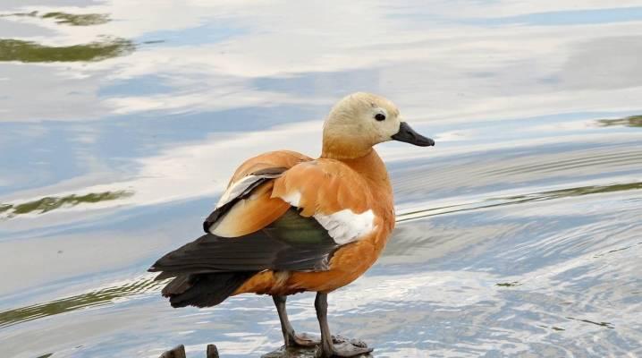 Огарь птица. образ жизни и среда обитания птицы огарь | животный мир