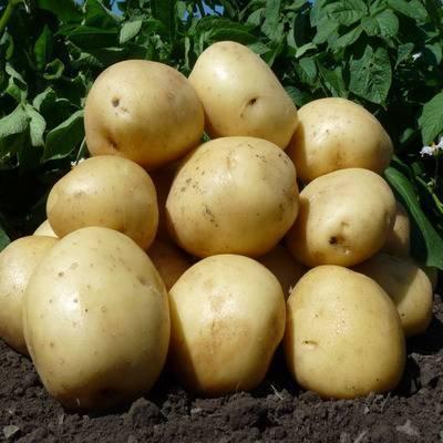 Описание и характеристика картофеля любава. как успешно вырастить этот сорт и сохранить урожай?