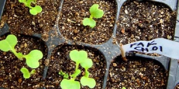 Капуста пак-чой: полезные свойства и особенности выращивания