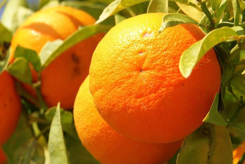 Апельсины при беременности: польза и вред. какие витамины в апельсине :: syl.ru