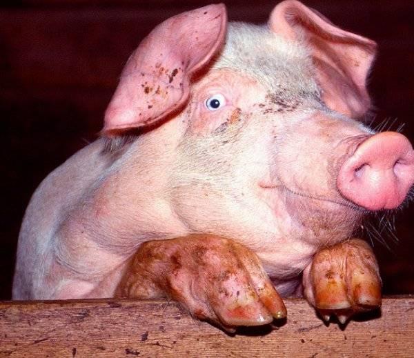 Вес свиньи: таблица измерения веса свиней