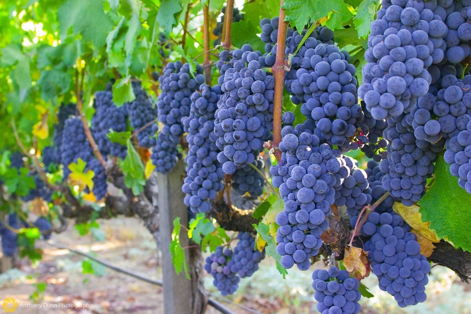 """Виноград """"изабелла"""": описание сорта, польза и вред, фото, отзывы"""