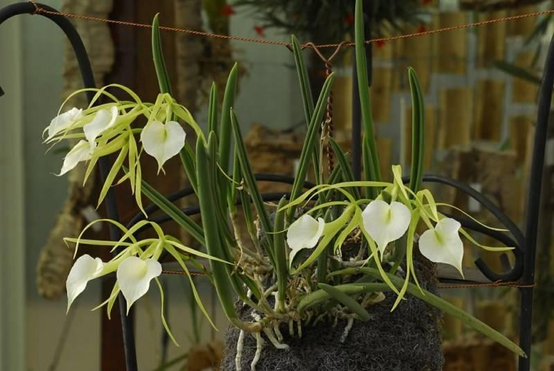 Орхидея брассавола: описание, выращивание, посадка и уход