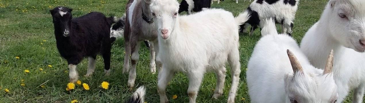 Ламанча – порода молочных коз