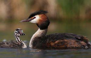 Чомга птица фото, как птица чомга своих малышей прячет?