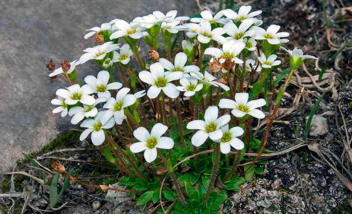 Камнеломка: посадка и уход в открытом грунте, фото цветов со скромным обаянием