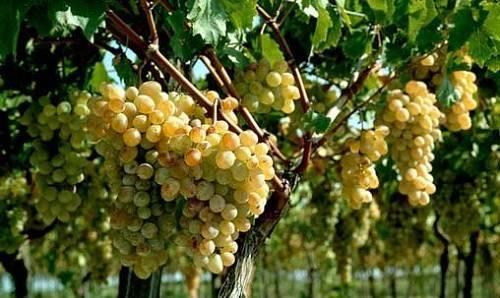 Как посадить виноград осенью черенками: инструкция + видео