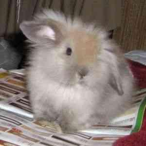 ᐉ мокрец у кроликов: инфекционный, бактериальный, травматический - zooon.ru