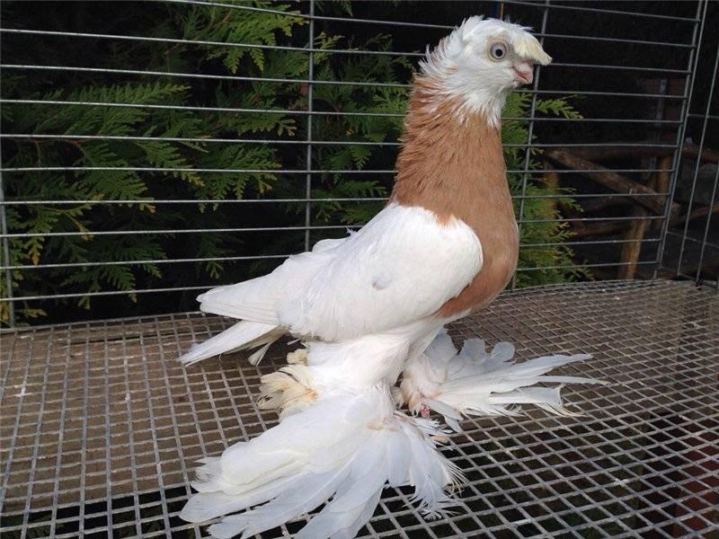 Все об узбекских бойных голубях: уды и авлаки, разновидности оперения и окраса