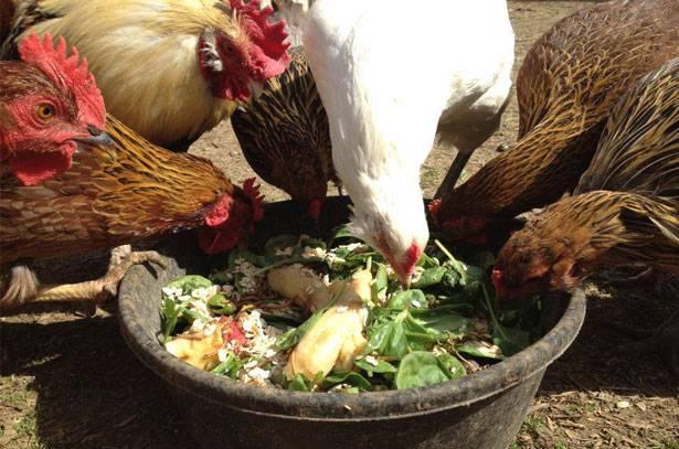 Кормление кур - птичий двор