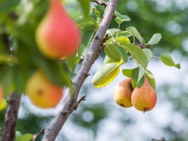 ✅ груша нарядная ефимова: описание и характеристика, особенности выращивания и ухода, фото - tehnoyug.com