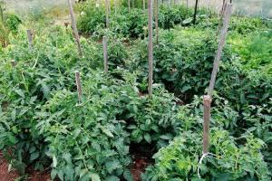 Как поливать помидоры правильно в теплице и в открытом грунте