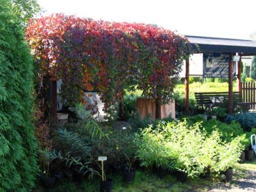 Девичий виноград посадка и уход фото, размножение, обрезка