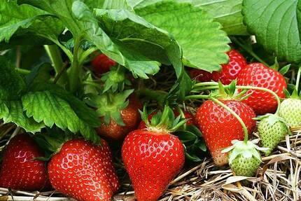 Весенняя подкормка клубники для большого урожая