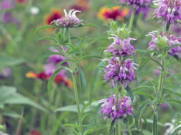 Цветы монарда: сорта, посадка и уход в открытом грунте, особенности размножения