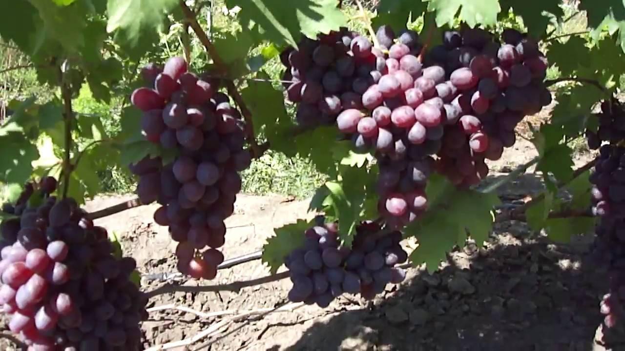"""Виноград """"низина"""": характеристика и описание сорта, особенности выращивания, достоинства и отзывы"""