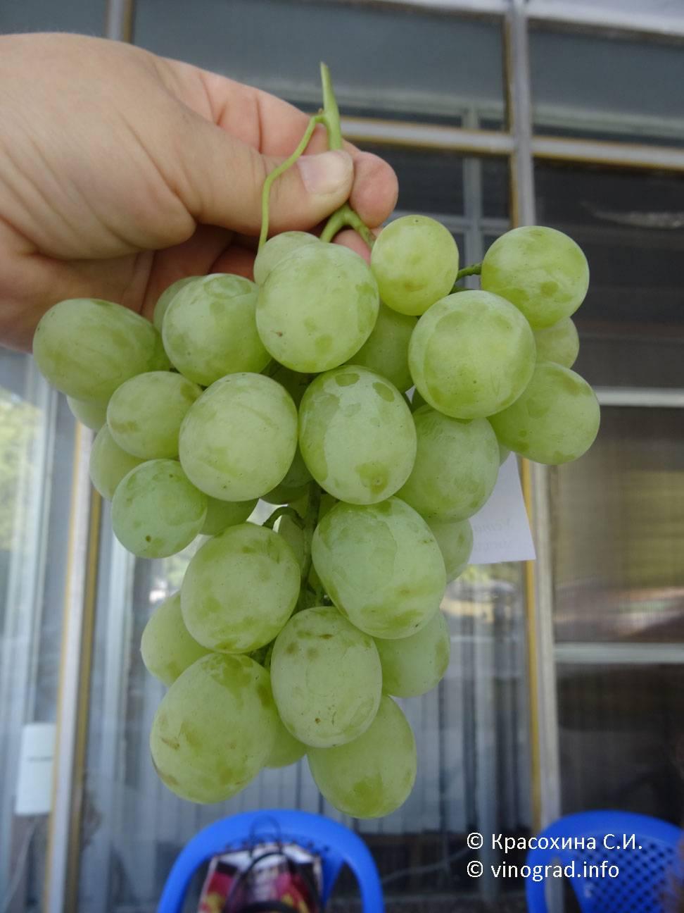 Виноград ванюша: что нужно знать о нем, описание сорта, отзывы
