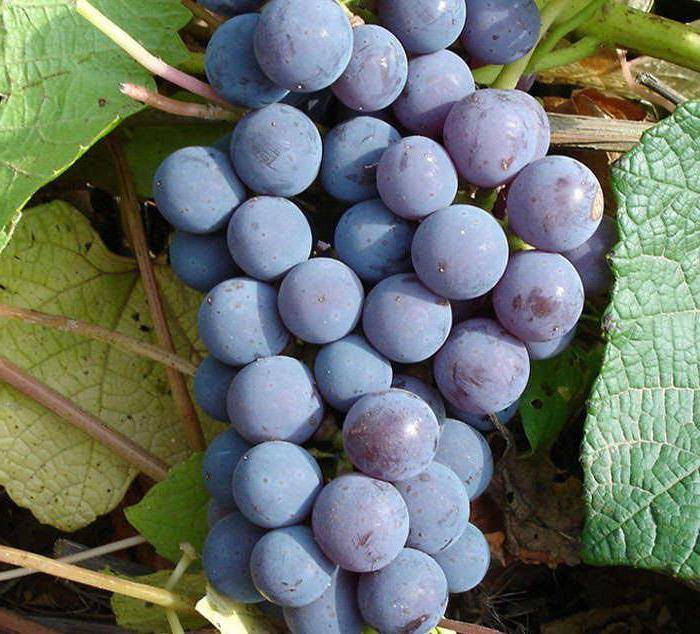 Виноград левокумский устойчивый: описание сорта, фото, отзывы
