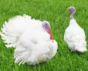Высиживание яиц индюшками: периоды кладки, сроки выведения птенцов