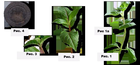 Размножение фуксии листом: как правильно делать в домашних условиях и как заботиться о растении в этот момент и в последующем?дача эксперт